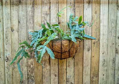 Pot plant in coco-coir basket hanging on wooden fence